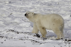 """Polar Bear in Churchill along the Hudson Bay. • <a style=""""font-size:0.8em;"""" href=""""http://www.flickr.com/photos/92120860@N06/8454774438/"""" target=""""_blank"""">View on Flickr</a>"""