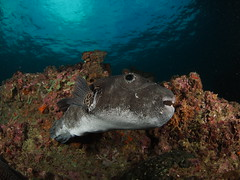 Giant Pufferfish (Marcel Waldis Underwater Photography) Tags: sea fish water animal giant fly flying photo underwater dynamic air natur deep wideangle diving olympus fisheye adventure fotos dome wa scubadiving activity phuket 8mm kohphiphi krabi underwaterworld omd andaman andamansea underwaterphotography fourthirds giantpufferfish adamansea seaandsea waterx kohbida photographyx nauticam omd5 fisheyex underwatterfotography seasea110a sailrockdiver seaandsea110a olympusomdem5 omdem5 8mmpanasonicfisheye solaphoto1200 nauticamnaem5