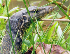 Young Monitor Lizard (Beegee49) Tags: elementsorganizer