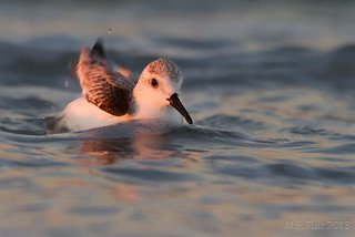 Sanderling @ Treasure Island (FL)