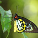 Cairns Birdwing Butterfly (endemic to north-eastern Australia)