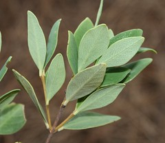 Wikstroemia uva-ursi x W. vacciniifolia.  O`ahu, foothills of the northern Ko`olau Mts., eastern edge of `Ō`io Gulch.  Plant 4. (jqcl) Tags: wikstroemia wikstroemiauvaursixwvacciniifolia wikstroemiaoahuensis akia thymelaeaceae hybrid hawaii hawaiianislands oahu koolaumountains plant nativehawaiianplant