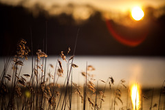 (drfugo) Tags: flowers light sunset sun lake reflection water reeds spring bokeh warmth reservoir flare glint ardingly canonef135mmf2lusm canon5dmkii