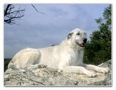 Irish Wolfhound (mdelaney65) Tags: irish dog breed wolfhound whitedog