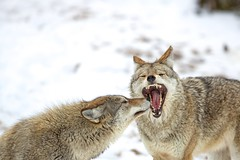 Open Wide! (Perry McKenna) Tags: coyote nature beautiful animals teeth den