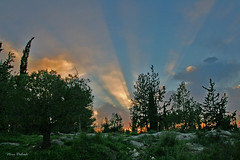 Sunset at the Forest (Nira Dabush) Tags: trees light sunset nature photography israel photographer fineart rays       berkovitz    horshimforest  niraabush
