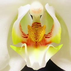 Orchid (wmliu) Tags: plant orchid flower macro nature closeup wmliu