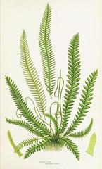Anglų lietuvių žodynas. Žodis fern ally reiškia paparčio ally lietuviškai.