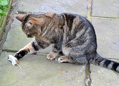 Wake Up. I Want To Play - NOW!! (aceanorak1) Tags: nature animal cat mouse feline mice killer creature harvieandthemouse