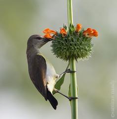 DSC_6750 (Samiran Nandy) Tags: india bird nature beauty samiran westbengal birdphotography nandy santiniketan machranga palashphul birdsofsantiniketan samirannandy santinikeanbird samiranspicture santiniekatnphotography samiransantiniekatn