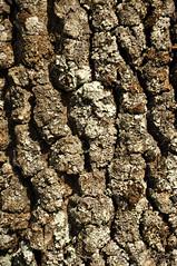 Textura de la corteza de árbol - Texture of tree bark