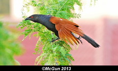 Ready to return to Photography? (McGun) Tags: brown bird photography wings chennai takeoff teleconverter coucal greatercoucal 2xtc kottivakkam