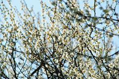 湯島天満宮梅まつり (deletio) Tags: flowers japan tokyo blossom plum bunkyo 梅の花 2013 d700 afnikkor300mmf4ed