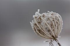 the immense beauty of winter (knitalatte11) Tags: winter snow ice frost crystals walk thistle goldenrod bark stems teasel needles milkweed queenanneslace alder almostspring maplekeys