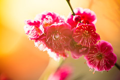 Touch of Pink (moaan) Tags: life sun march dof blossom bokeh utata blossoming f56 ume japaneseapricot 400mm inthesun umeblossom 2013 extenderef2x inlife canoneos5dmarkiii ef70200mmf28lisiiusm