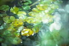 Spring (moaan) Tags: life light stream waterlily multipleexposure utata blessed 2013 floatingleaves inlife closeuplens500d ef70200mmf28lisiiusm canpneos5dmarkiii