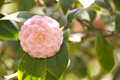 Pink Camellia at Descanso Gardens (matt_butt) Tags: pink plant flower tree garden camellia descansogardens