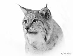 Lynx portrait (Mrscurlyhead) Tags: portrait bw monochrome animal norway canon mono blackwhite wildlife highkey wildcat lynx langedrag lynxlynx