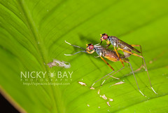 Stilt-Legged Flies (Micropezidae) - DSC_5435 (nickybay) Tags: macro fly singapore mating labradorpark stiltlegged micropezidae