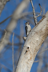 Woodpecker_44448.jpg (Mully410 * Images) Tags: winter snow cold bird birds woodpecker downywoodpecker birding deadtree birdwatching birder burdr