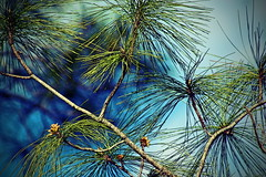 Pine with Blue II (hollykl) Tags: pine photomanipulation digitalart hypothetical vividimagination arteffects greenscene sharingart awardtree netartii