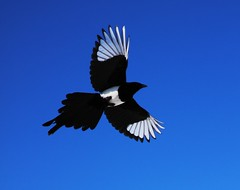 Magpie in Flight_01 (Circled Thrice) Tags: bird birds flying colorado flight coloradosprings co magpie magpies pikespeak rampart rampartpark