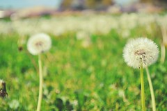 Field of Wishes (throughthineeyes) Tags: color green field landscape dof bright dandelion depthoffield wishingflower