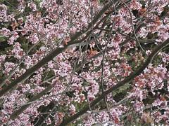 Alhambra Spring (DigitalLyte) Tags: pink tree spring spain blossoms grenada alhambra cherryblossoms overhead