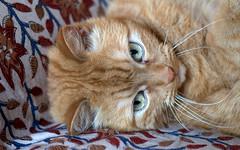 """Camillo"" 10 years old_001 (by emmeci) Tags: gatto animaledomestico"