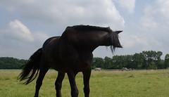 Kriebels (Walraven) Tags: paard horse fries frisian black zwart itch jeuk kriebels