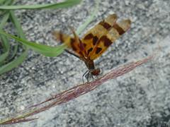 Halloween Pennant (Celithemis eponina) (Luis G. Restrepo) Tags: p1170479 libelula anisoptera odonata dragonfly insect usa florida northamerica halloweenpennant celithemiseponina