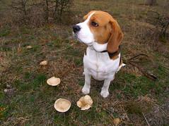 My mushroom hunting hound, Bigi (andraszambo) Tags: bigi beagle hound dog röttelritterling lepista saeva fieldblewit myco mushroom mushroomhunting tricolor tricolour pet sitting kopó bracke gombavadász gomba lilatönkűtölcsérpereszke pereszke meadow rét autumn hund jagdhund outdoor