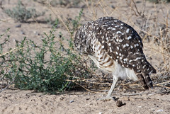 """ Where I Itches... I Scratches!"" -- Burrowing Owl (Athene cunicularia); Los Lunas, NM [Lou Feltz] (deserttoad) Tags: nature newmexico bird wildbird wildlife raptor owl desert behavior migration"