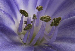 Agapanthus (Doctor Syntax) Tags: agapanthus