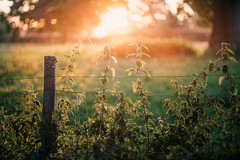 Wolterton Park 18/08/2016 (Matthew Dartford) Tags: bokeh depth fence flower fog glow glowing gold goldenhour sun tree weed stinging nettle wolterton park