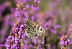 Grayling (gillian.pullinger) Tags: butterfly grayling insect heather thursleycommon