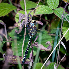 CommonHawker (Chris@184) Tags: insect odonata dragonfly chris184 commonhawker aeshnajuncea cinxia canoneos40d