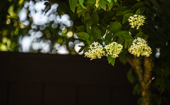 Tree Hydrangea (Dotsy McCurly) Tags: tree hydrangea plant flowers nature beautiful dof bokeh nikon d750 nj