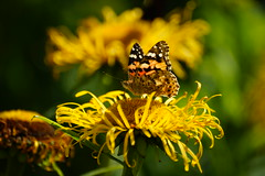 Painted Lady. (artanglerPD) Tags: first painted lady butterfly yellow flowers