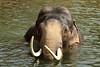 Asiatic Elephant MEKONG (K.Verhulst) Tags: mekong asiaticelephants aziatischeolifant aziatischeolifanten emmen olifanten elephants wildlands wildlandsadventurezoo drenthe nl