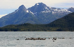 Sea Otters Prince William Sound Valdez Alaska USA North America (eriagn) Tags: northamerica usa america alaska wildlife seaotter mammal sea marine fur cute hardy feisty animal claws shellfish clams habitat ecosystem naturehistory protected furtrade raft otterraft ngairehart ngairelawson explore travel documentary seascape mountain snow summer saltwater floating whiskers kelp enhydralutris insulation social