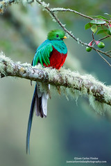 Resplendent Quetzal (www.juancarlosvindasphoto.com) Tags: costarica juancarlosvindas centralamerica nature wildlife landscape frog amphibian birds birdphotography photographer photos pictures stock fulllength nobody frontalview sideview outdoors mammals endemic reptiles portraitmode portrait large small aves colibries colibris hummingbird canon multiflash gear tropical rainforest cloudforest tropicaldryforest protected workshop tour expedition unique cute waterfall green forest poisonous rightsmanaged rm getty treefrog leaffrog landscapes ecuador distinctive endangered animalsinthewild birdwatching biology biodiversity multicolored animal toucan wildanimals tropicalbirds neotropicwildlife neotropicbirds pharomachrusmocinno resplendentquetzal quetzal male