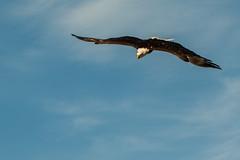 ber den Wolken... (Mighty Badaboom) Tags: animal tier bird vogel birdofprey greifvogel baldeagle weiskopfseeadler fliegen fly
