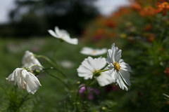 DSC02151 (Zengame) Tags: hamarikyu hamarikyugardens rx rx1 rx1r rx1rm2 rx1rmark2 sony zeiss cc cosmos creativecommons flower japan tokyo           jp