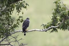 Gray Hawk (www.studebakerstudio.com) Tags: gray hawk grayhawk raptor arizona greenvalley birdofprey bird animal wildlife nature sycamore