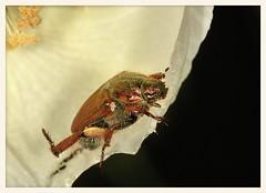 Scarab Beetle (gauchocat) Tags: tohonochulpark tucsonarizona
