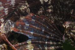 Bullrout Abstract (Myoxocephalus scorpius) (Arne Kuilman) Tags: grevelingen macro supermacro subsee diopter 10 denossehaven zeeland duiken diving nederland netherlands myoxocephalusscorpius fin vin fish vis zeedonderpad