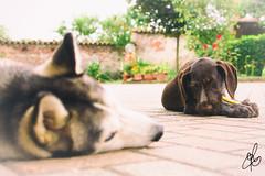 Isna & Lara (Torchia Marco) Tags: nikond7200 husky drahthaar dog animalidomestici cuccioli