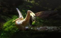 Pelikan (Delbrckerin) Tags: pelikan pelican tier animal outdoor nikond90 sigma150600mm