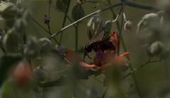 Imagine (harefoot1066) Tags: malvaceae sphaeralcea sphaeralcealaxa calicheglobemallow coleoptera polyphaga scarabaeoidea scarabaeidae scarabbeetle